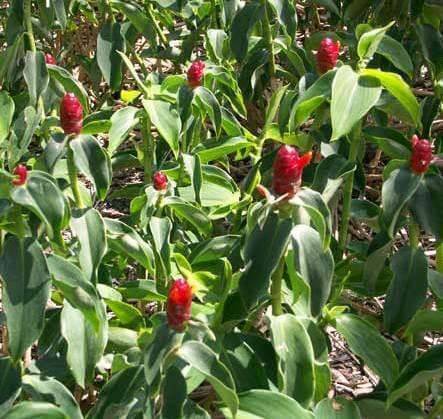 Costus plant -Indoor herb garden