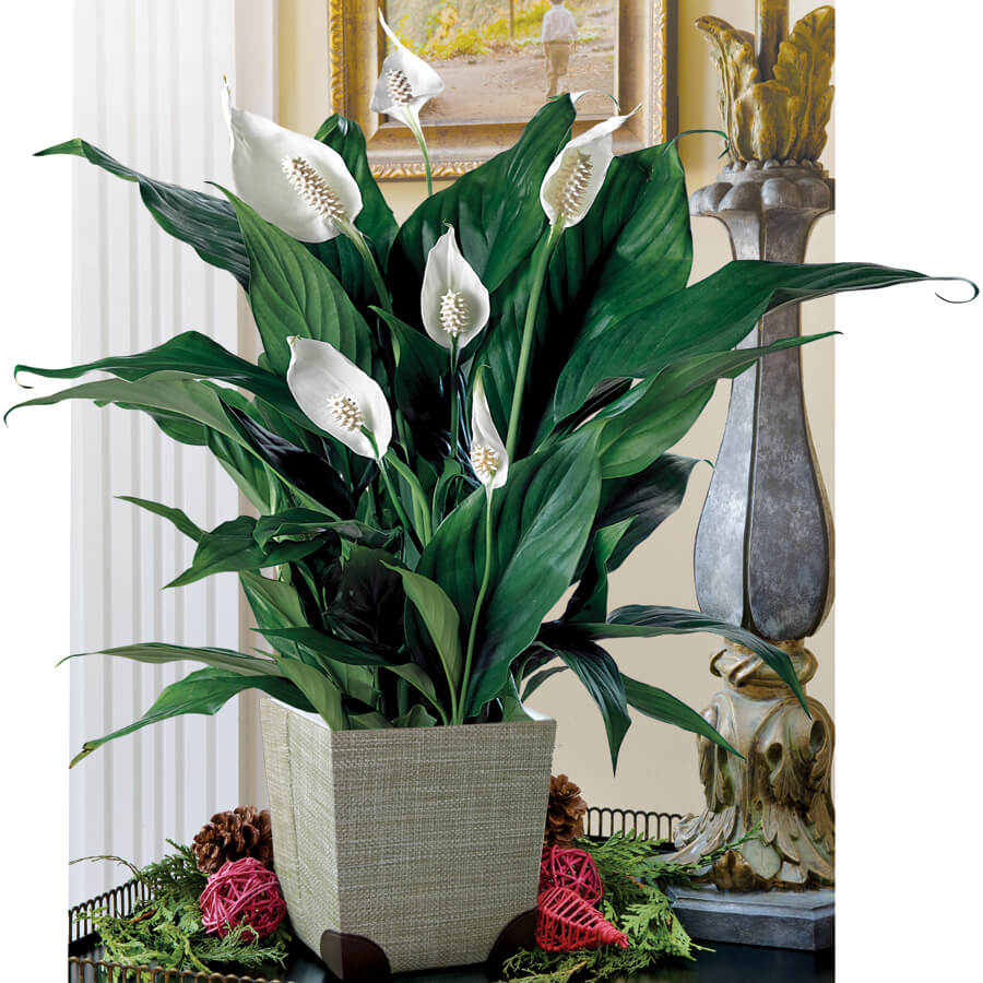 Peace Lily - Natural air purifier plant