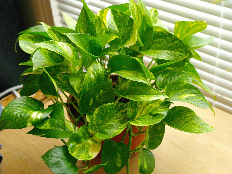 Pothos indoor house plant
