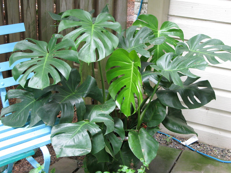 Split Leaf Philodendron - Indoor House Plant, Air purifier ...