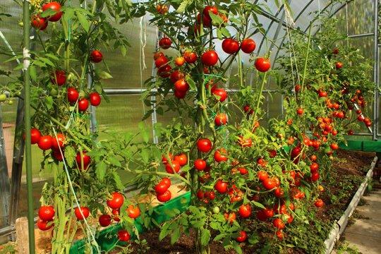 Tomato - Vegetable garden