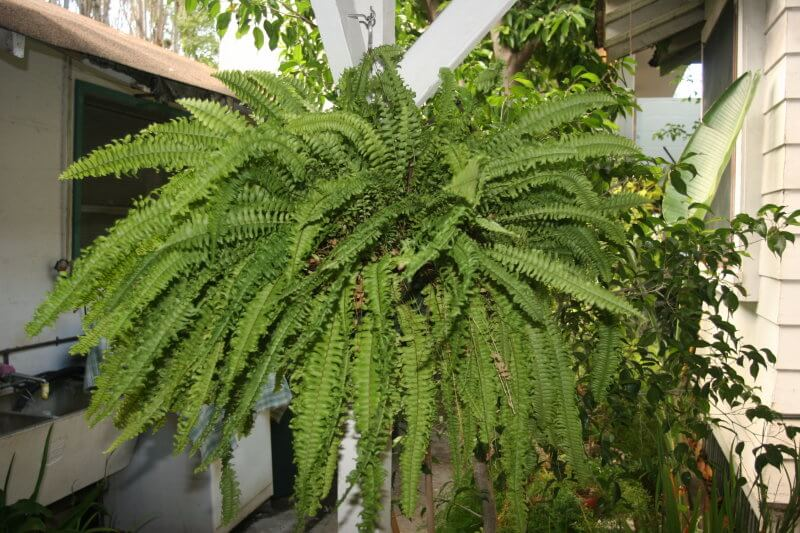 Boston Fern plants Plants  Indoor House Air purifier