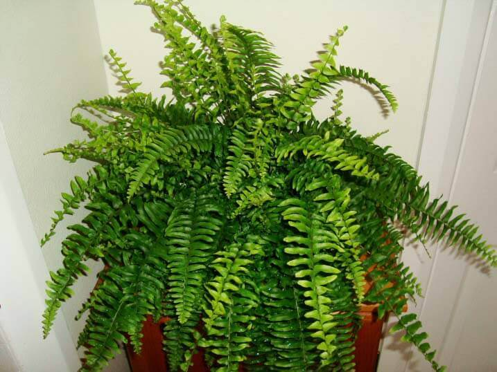 Boston fern plant