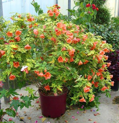 Abutilon Indoor House Plants Flowering Indoor Plant