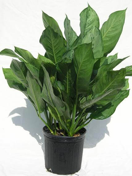 Aglaonema (Chinese evergreen) - Indoor House Plants on chinese evergreen watering, red chinese evergreen plant, chinese evergreen leaf, japanese evergreen plant, snake plant, chinese evergreen bamboo, chinese money plant, chinese evergreen seeds, chinese evergreen crete, chinese evergreen tree, chinese evergreen indoor plant, chinese potted plant, chinese fan palm california, wandering jew plant, english ivy plant, chinese evergreen aglaonema, chinese evergreen flower, chinese evergreen leaves turning yellow, chinese flowers and plants,