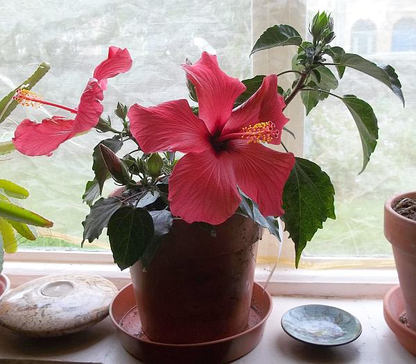 Hibiscus Indoor House Plants Indoor Herb Plant Medicinal Plant