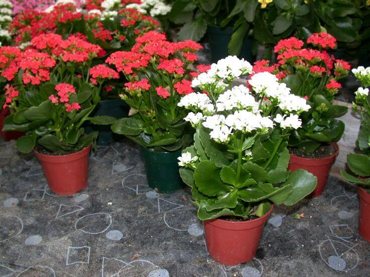 How to plant and care for Kalanchoe 89