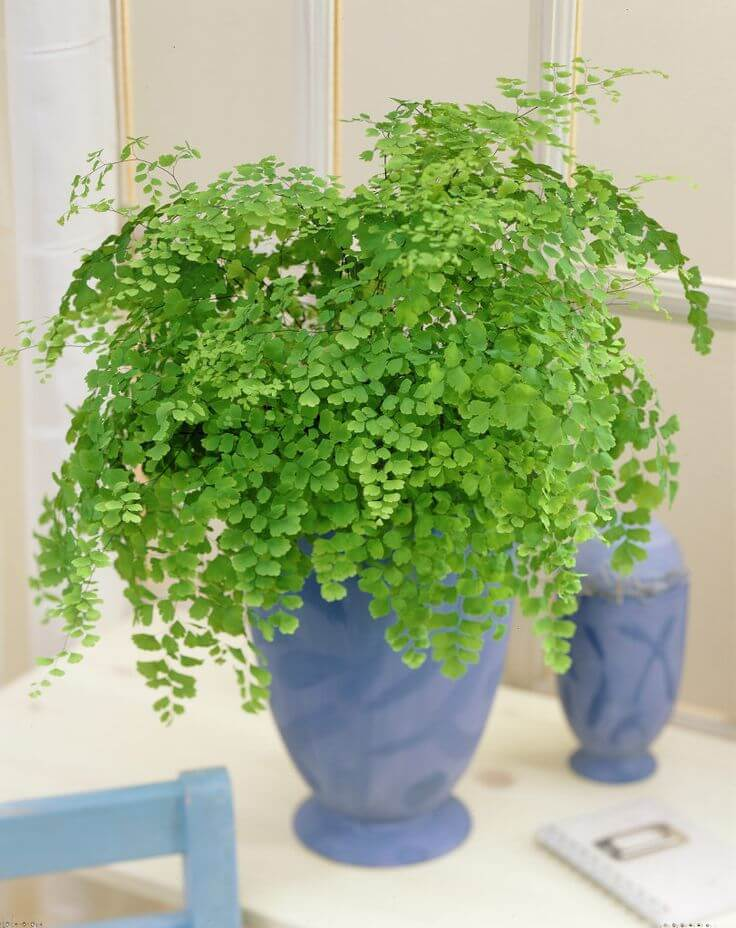 Maidenhair fern - Indoor House Plants, Air purifier plant