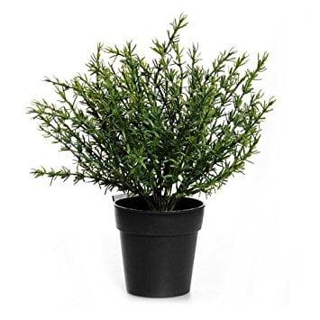 Thyme - Indoor Herb Garden