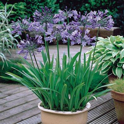 Agapanthus - Flowering plants