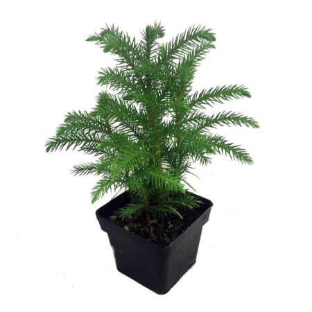 living christmas tree indoor house plants