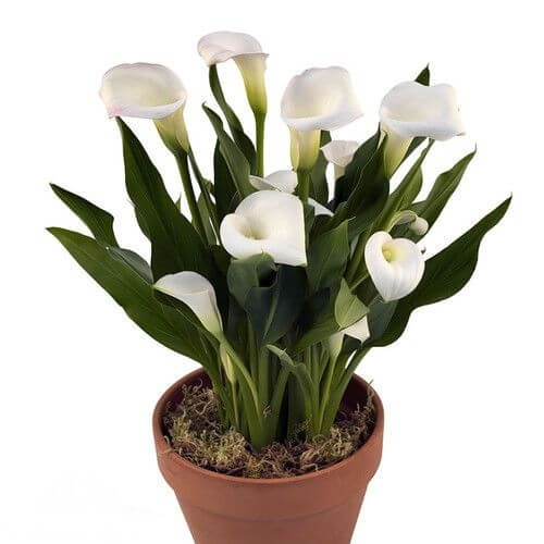 Calla Lily Indoor House Plants Planting Man