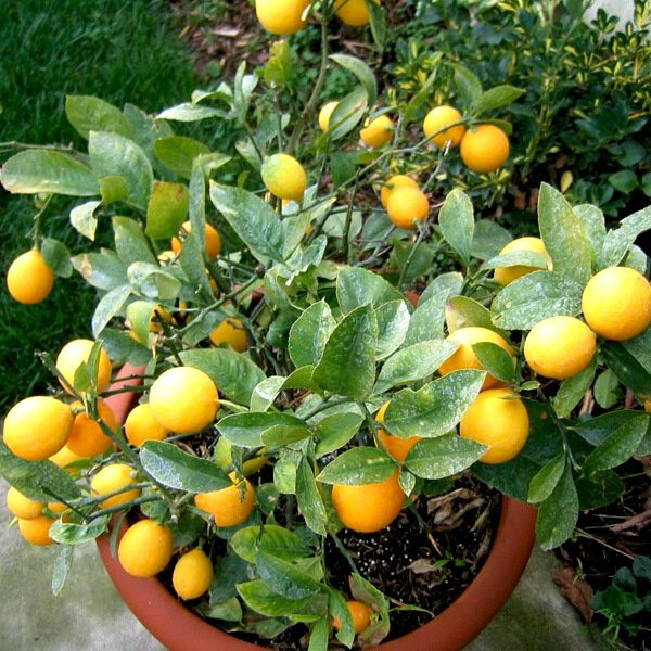 Lemon fruit garden healthiest fruit plant to grow at home Planting lemon seeds for smell