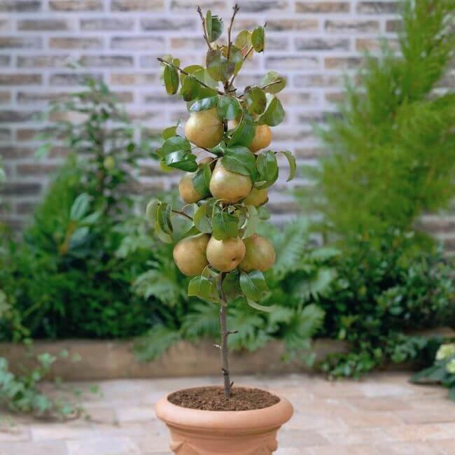 Pear - Fruit garden