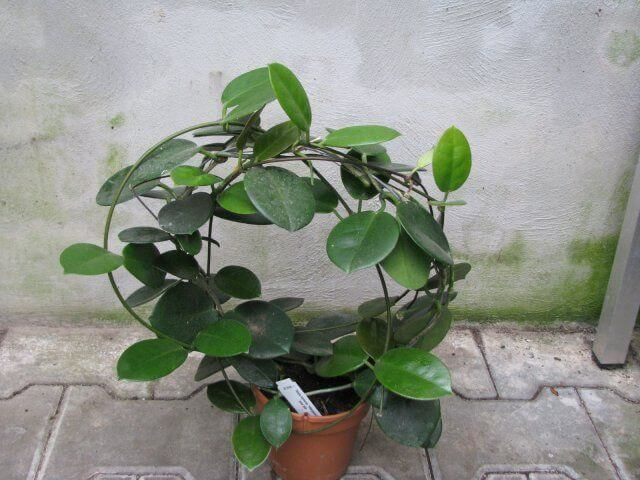 Hoya Indoor House Plants Air Purifying Plant Flowering Plant