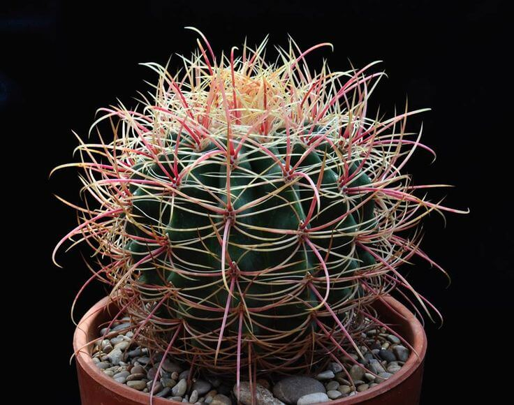 Ferocactus cylindraceus - Cactus garden