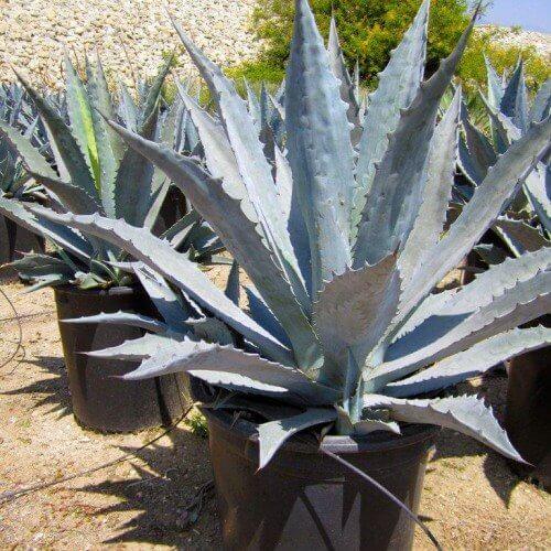 Century plant - Succulent garden