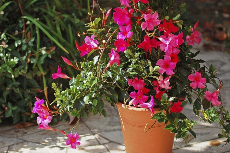 Dipladenia sanderi - Flowering plants
