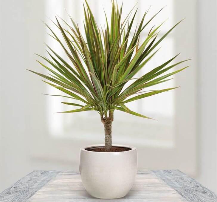 Dragon Tree Dracaena Marginata Indoor House Plants