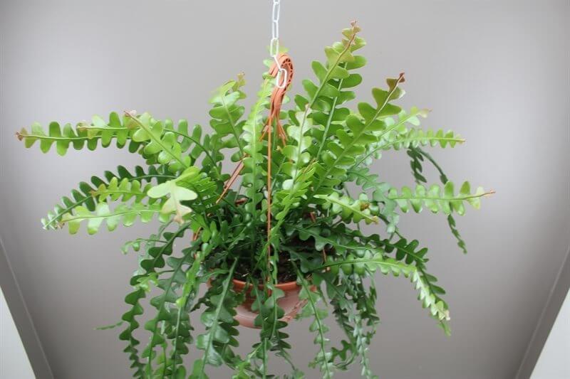 Epiphyllum anguliger - Cactus garden