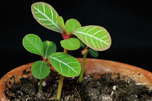 Euphorbia leuconeura | Madagascar jewel