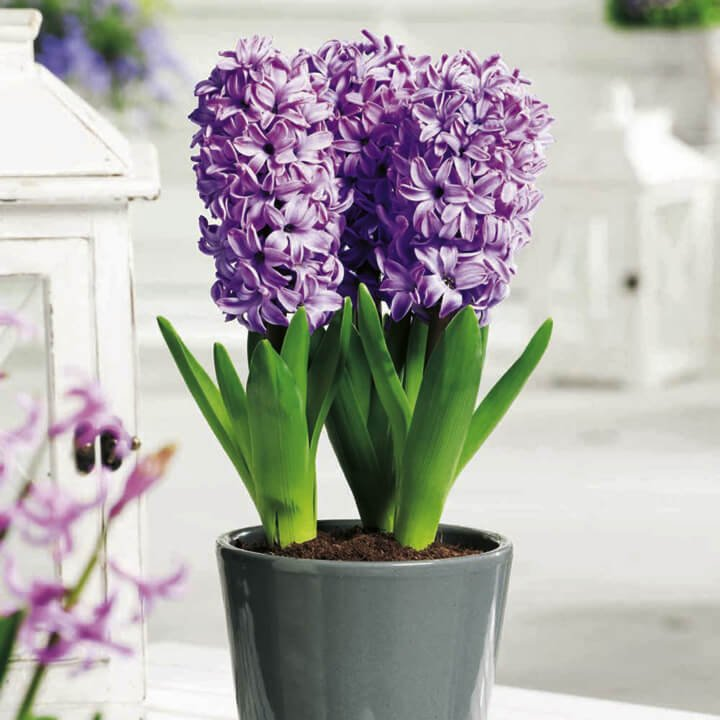 hyacinth indoor house plants