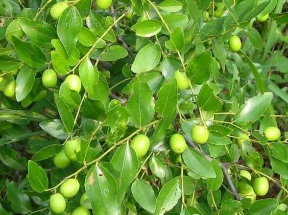 Jujube - Fruit garden