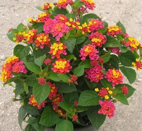 Lantana - Flowering plants