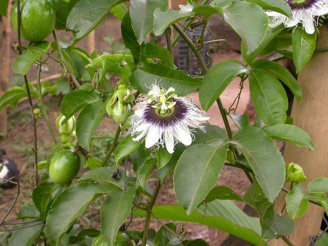 Passion fruit - Fruit garden
