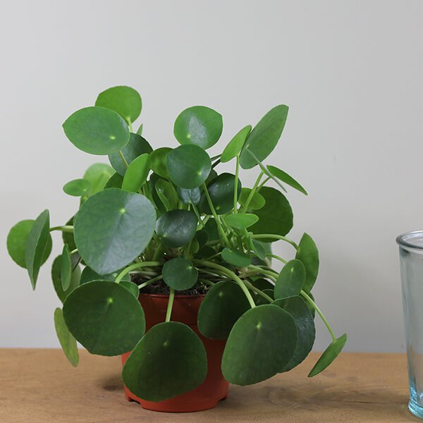 Pilea peperomioides - Indoor House Plants
