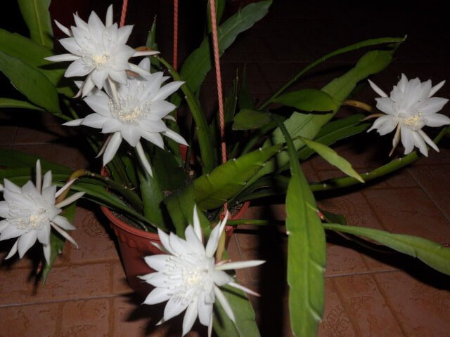 Night blooming cereus - Indoor House Plants