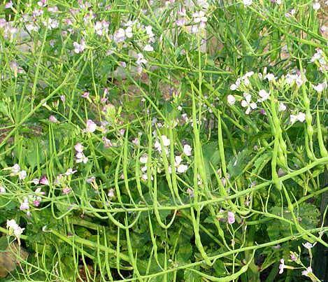 Rat tail radish - Vegetable garden