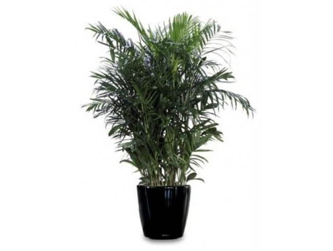 how to stop parlor palm leaves turning yellow