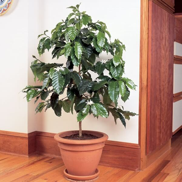 Coffea arabica - Indoor House Plants, Flowering plants on indoor tobacco plant, indoor bamboo plant care, indoor fig plant, indoor oak plant, indoor white plant, indoor lime tree, indoor avacado plant, indoor rubber plant, indoor water plant, indoor plants that clean the air, indoor lemon plant, indoor lilac plant, indoor coconut plant, indoor grass plants, indoor garlic plant, ideas for front of house plant, indoor citronella plant, indoor papaya plant, indoor wheat plant,