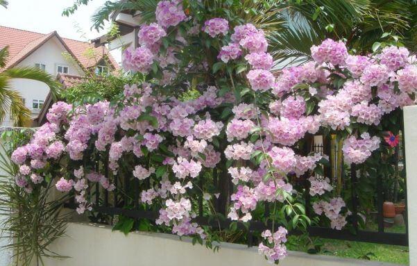 Garlic vine - Flowering plants