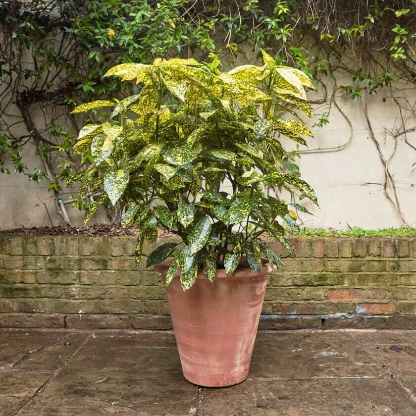 Gold dust plant - House Plants