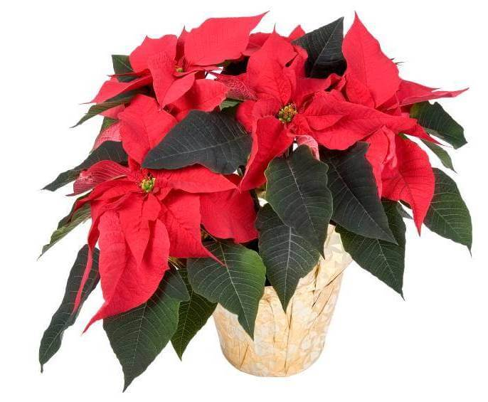 Poinsettia - Indoor House Plants