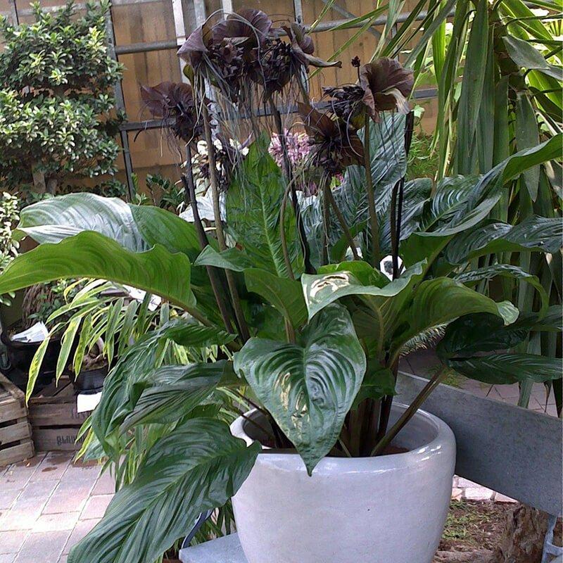 Tacca chantrieri - Indoor House Plants