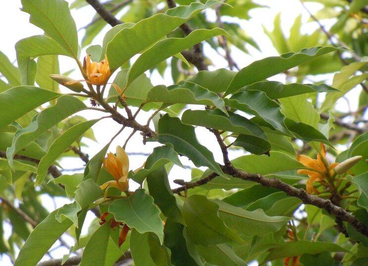 Champak - Flowering plants