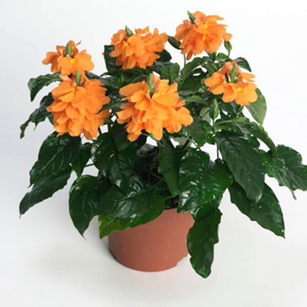 Crossandra infundibuliformis - Flowering plants