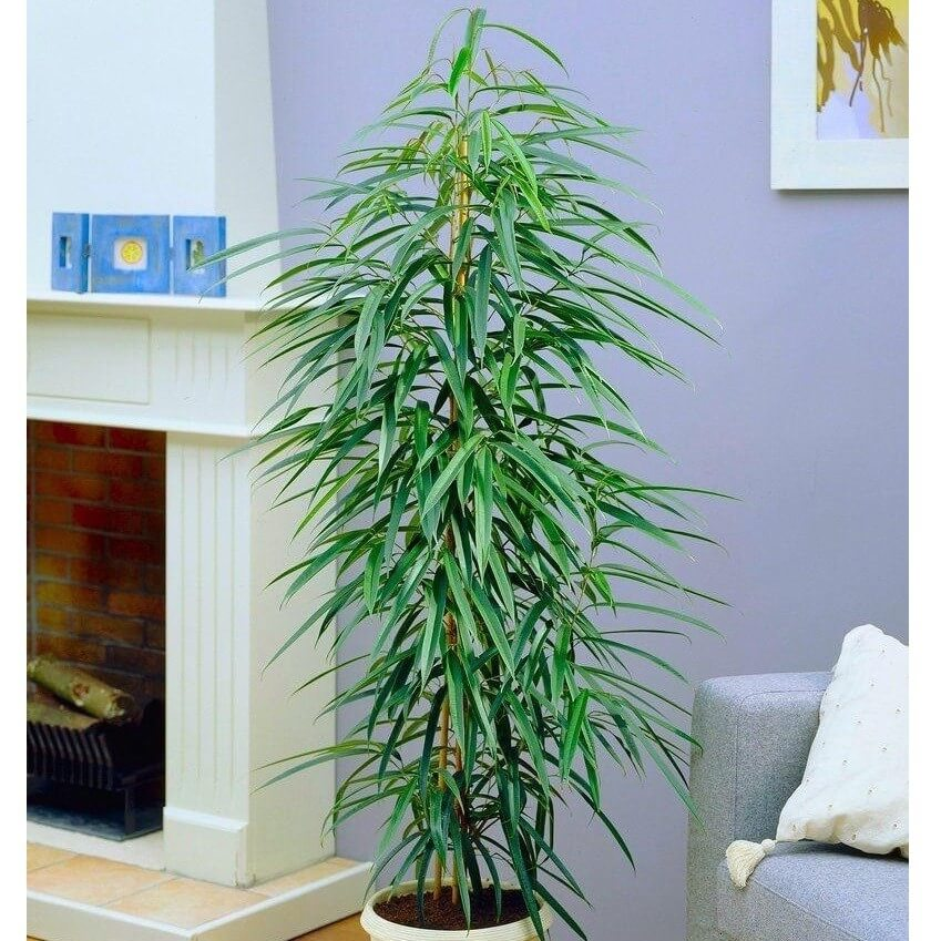 Ficus maclellandii indoor house plants air purifying plant for Where to buy indoor house plants