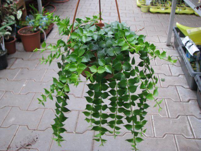 Million Hearts - Indoor House Plants