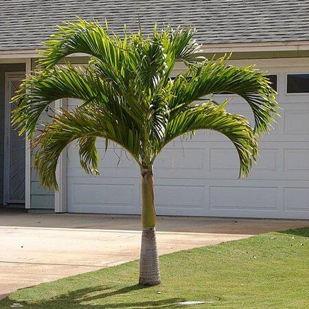 Roystonea regia - House Plants