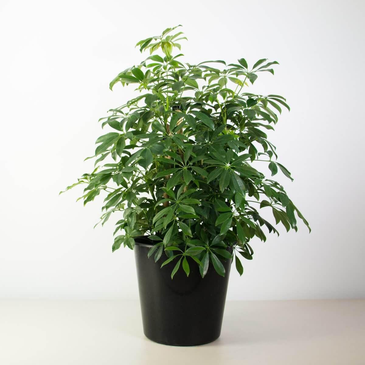 Umbrella plant - Indoor House Plants