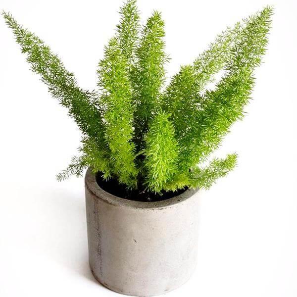 Asparagus fern - Indoor House Plants