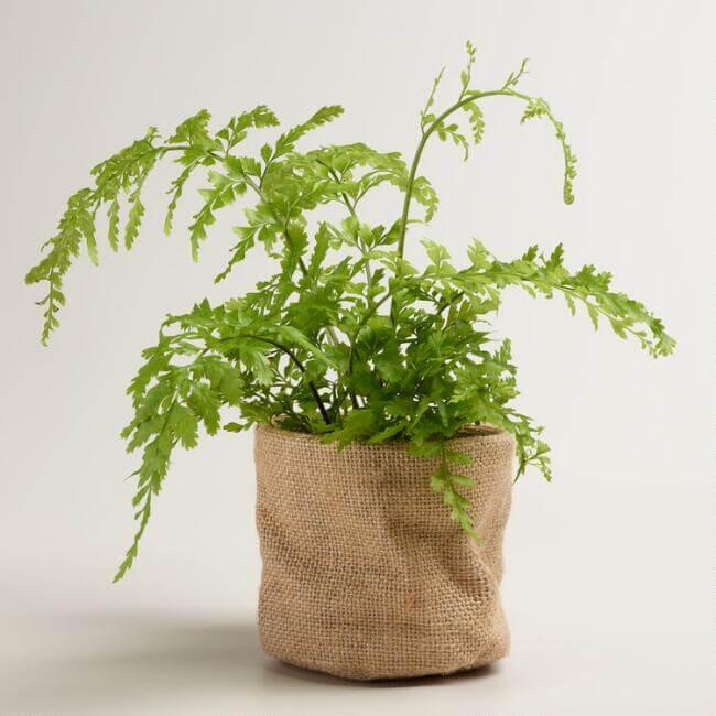 Asplenium bulbiferum  - Fern plants
