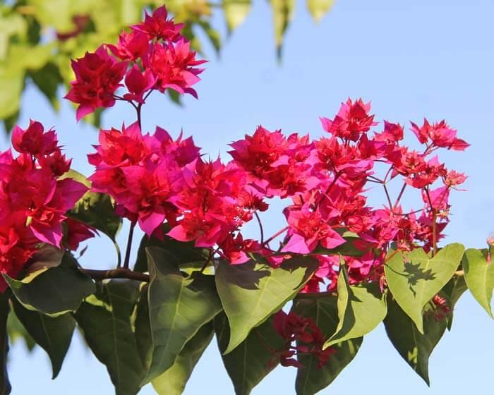 Bougainvillea - House Plants
