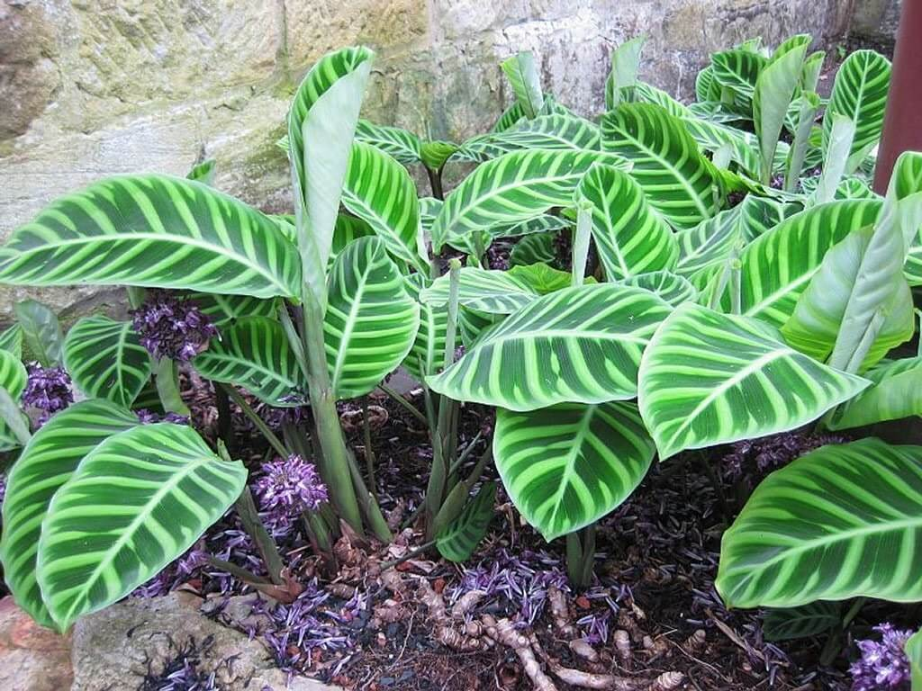 Calathea zebrina - Indoor House Plants