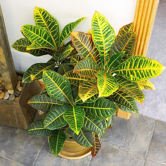 Codiaeum variegatum - Indoor house Plants