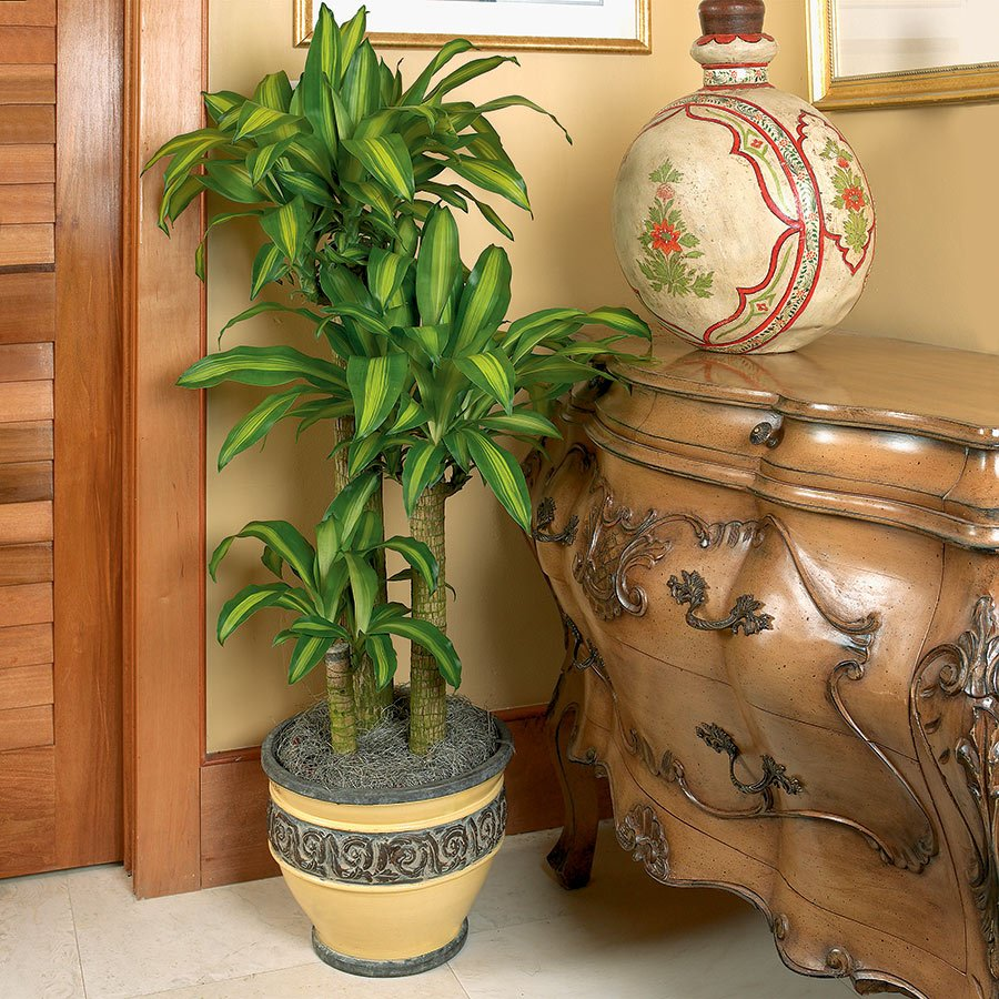 Dracaena fragrans - Indoor House Plants